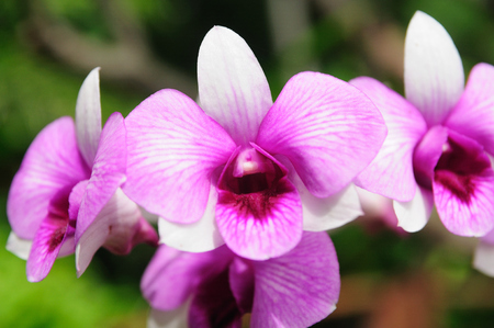 Purple fresh Orchids flowers in garden photo