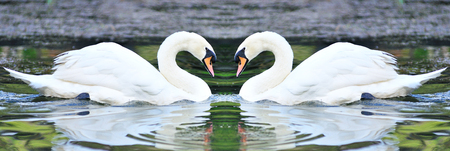 Twin white swans floating in lake, North of Thailand  photo