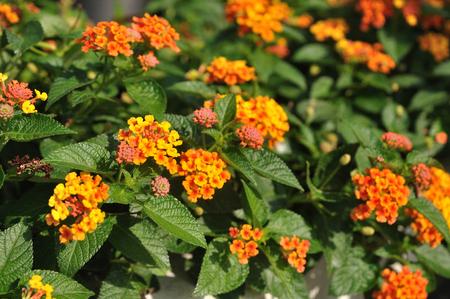 Mooie Weeping lantanas in de tuin Stockfoto