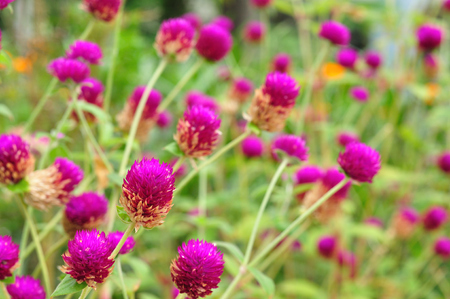 Group of amaranth in gardening photo