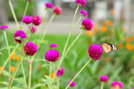 Group of amaranth in gardening with butterfly  photo