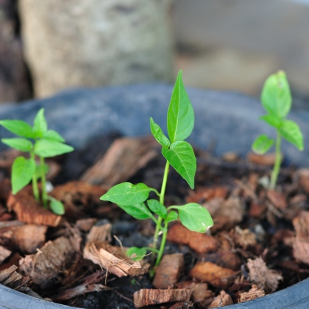 residue: baby trees growing up in pot with coconut residue