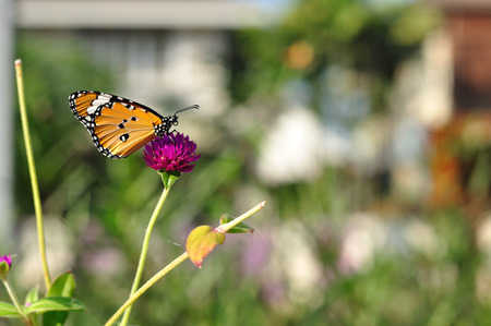 Amaranth in gardening with butterfly  photo
