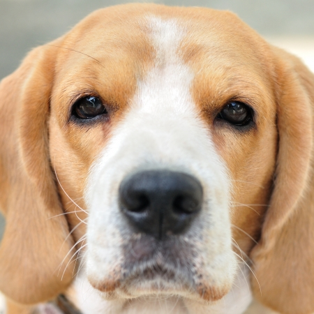 Close up beagle face eyes focus photo