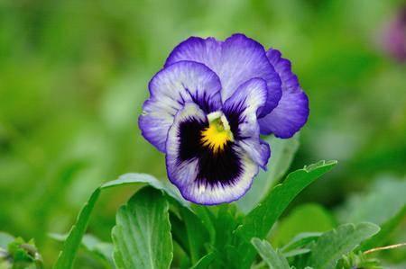 turnera: Bluish-Purple Turnera subulata flowers