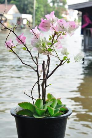 waterside: Bougainvillea flowers in plant-pot on waterside  Stock Photo