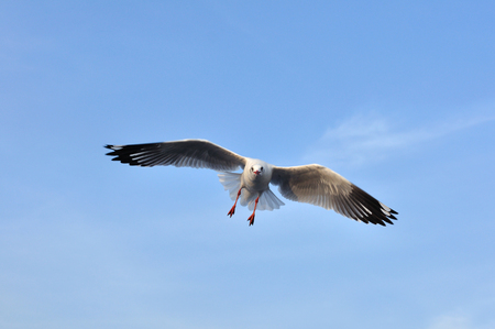 Seagull flying in blue sky photo