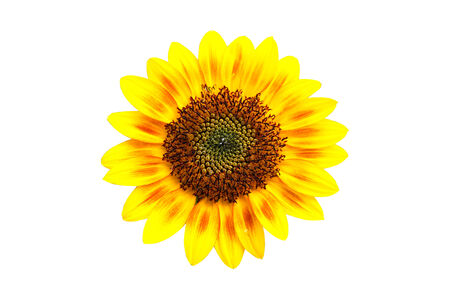 Perfect isolate sunflower, clipping path included  photo