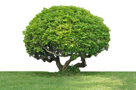 tree trimming: Tree trimming isolated on white background, clipping path included  Stock Photo