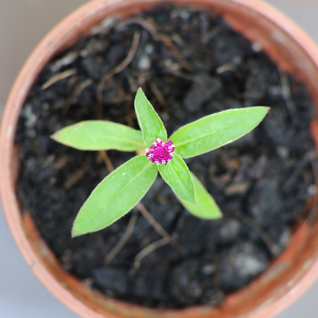 Small Globe Amaranth flower in plastic pot, top view. photo