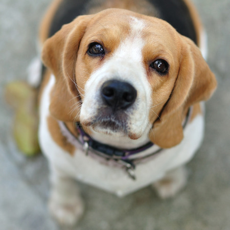 Portrait cute beagle puppy dog looking up photo