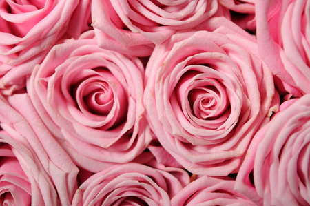 Full frame background of pink-roses. photo