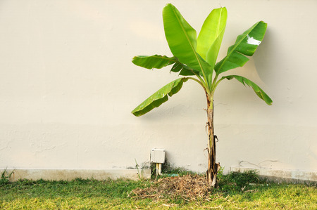 Single banana tree in front of wall. Stock Photo