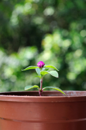 Small Globe Amaranth flower in plastic pot. photo