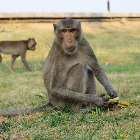 stared: Single Monkey stared to photographer. Stock Photo