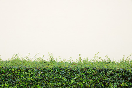Green bush with color cream wall. Stock Photo