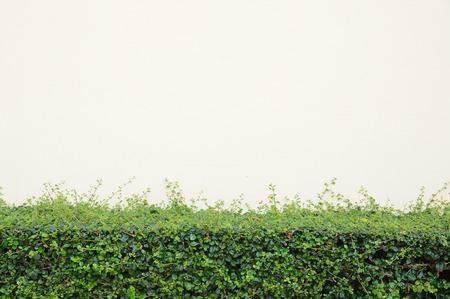 Green bush with color cream wall. Stock Photo