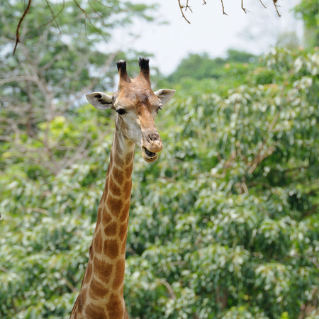 camelopardalis: Single giraffe standing in public zoo, Thailand. Stock Photo