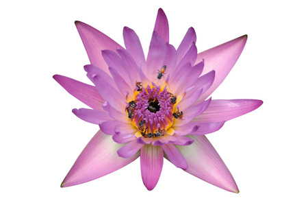 Beautiful pink lotus on white background, clipping path photo