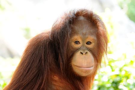 Single orangutan smile, looking to you. photo