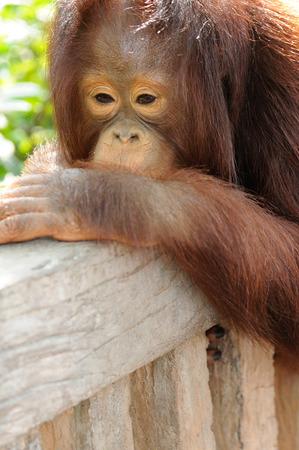 Single orangutan hanging on wood fence. photo