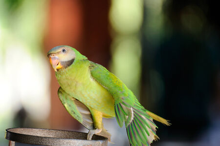 parakeet: Beautiful cute Red-breasted Parakeet, in action Stock Photo