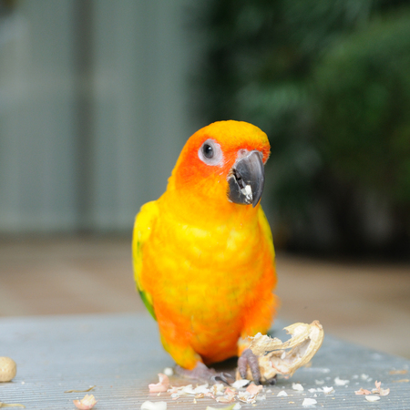 Beautiful cute Red-breasted Parakeet, in action Stock Photo - 28403504