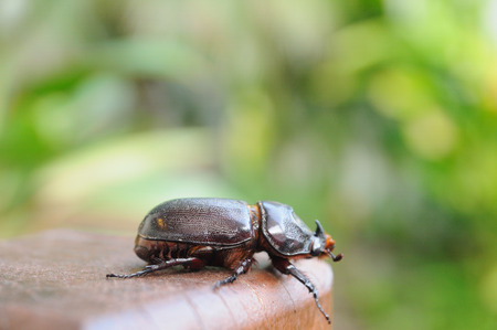 squirm: Single beetle hanging on wood, outdoor .