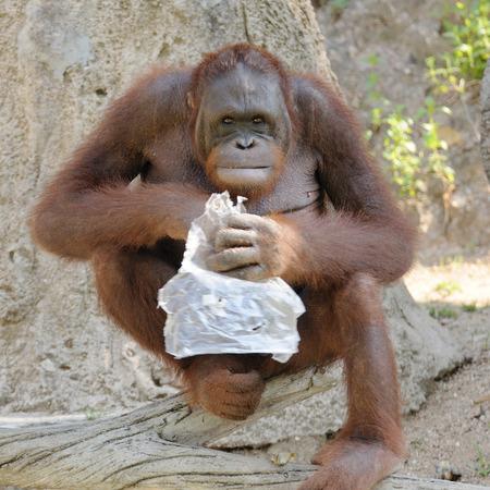 Single orangutan smile. photo