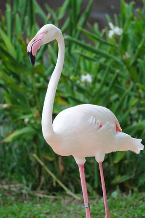 flamenco ave: Solo flamenco rosado de aves Foto de archivo