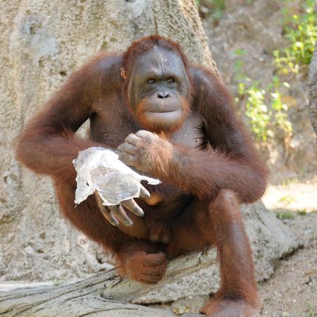 Single orangutan smile photo