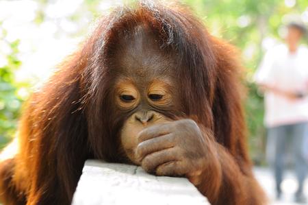 Single orangutan photo