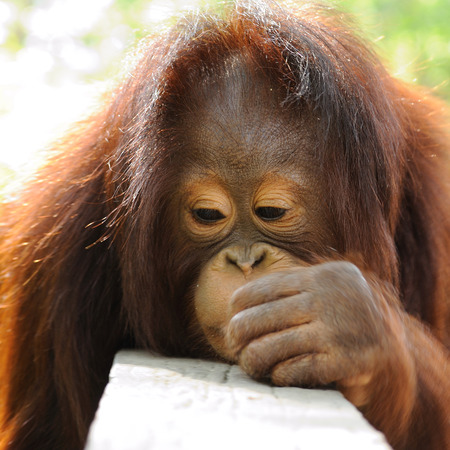 Single orangutan photo