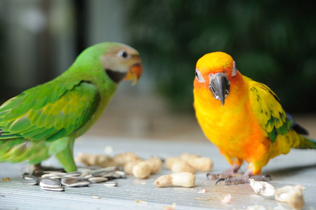 parakeet: Beautiful cute Red-breasted Parakeet birds