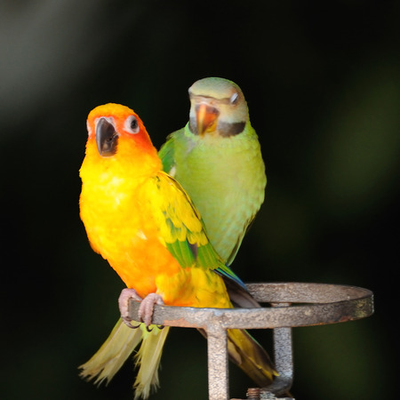 Beautiful cute Red-breasted Parakeets