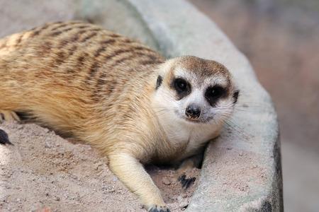 suricate: Meerkat or suricate, wild animal in action. Stock Photo