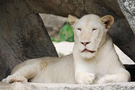 white tiger: White tiger