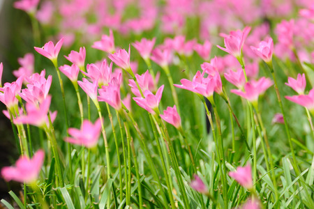 carinata: Pink Rain Lily or rose pink zephyr lily, Zephyranthes carinata. Stock Photo