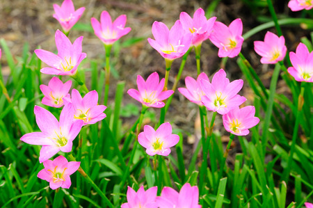 Pink Rain Lily or rose pink zephyr lily, Zephyranthes carinata. Stock Photo