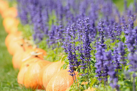 pumkin: Lavender and other flowers field with pumkin for web background. Stock Photo