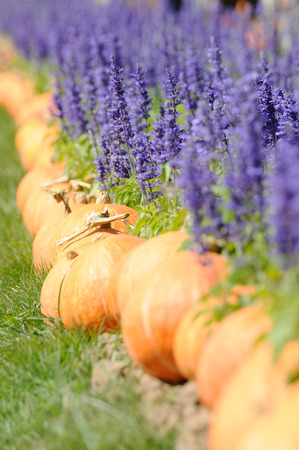 Lavender and other flowers field with pumkin for web background. photo