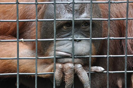 Female orangutan in animal cage feeling sad