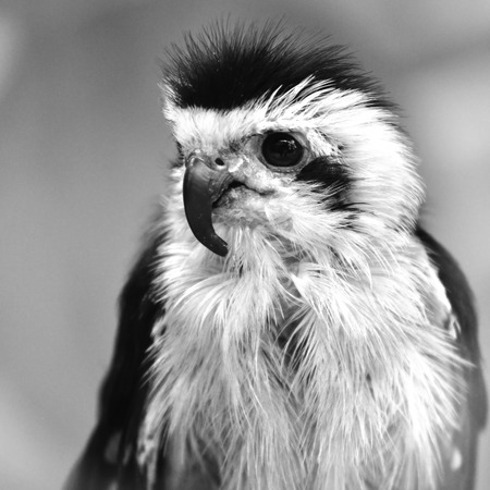 falconidae: Collaredfalconet Microhierax caerulescens species of bird of prey in Falconidae family Black and White concept