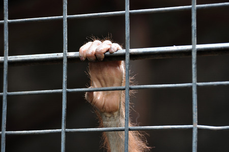 detain: Small chimpanzee hand holding cage waiting for freedom.