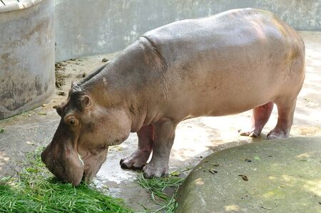 pigmy: Hippopotamus eating green grass for its meal Stock Photo