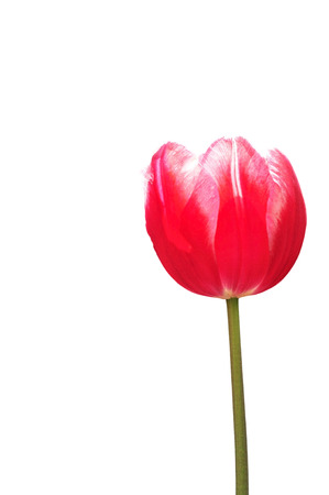 skagit: Closed up red tulip isolated on white background.