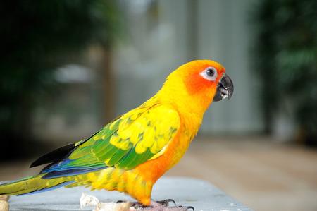 perico: Colorido periquito de pecho rojo lindo Foto de archivo