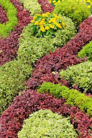 shrubs: Beautiful color bush for background.