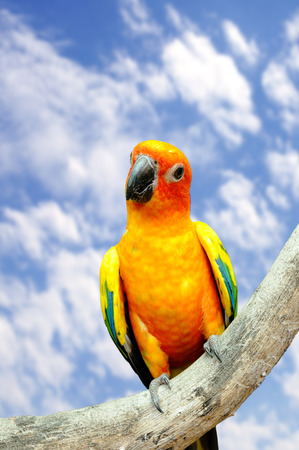 Conure bird hanging on dry branch. Stock Photo