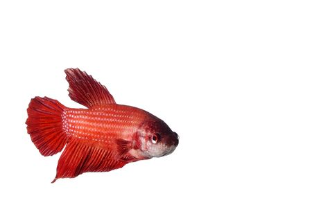 fish tail: Single tail fighting fish on white background
